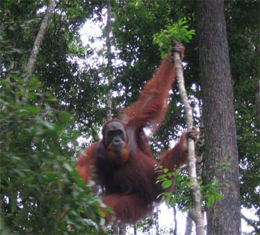 Orangutan at Bukit Lawang North Sumatra