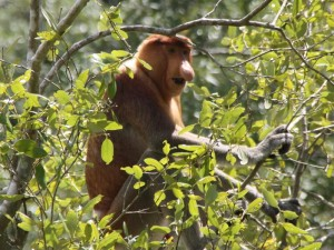Long nose monkeys Proboscis Monkey