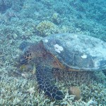 Turtle Gili Islands
