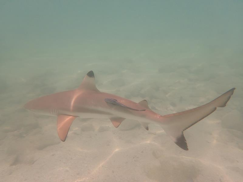 Snorkeling with Black Tip Reef Sharks