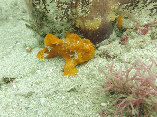 Frog fish at Gili Rengit west dive site