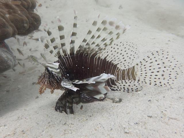 Lion Fish West Lombok Indonesia