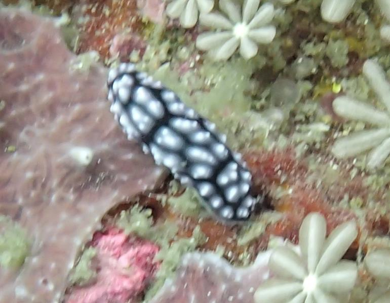 Pimpled Nudibranch