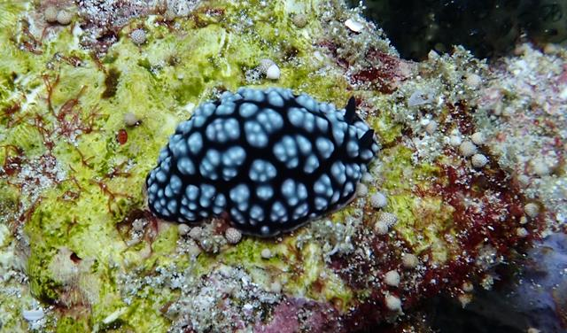 Pimpled Phyllidiella Nudibranch