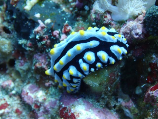 Sky Blue Phyllidia Dorid Nudibranch