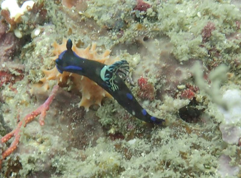 Bloomy Tambja Norid Nudibranch