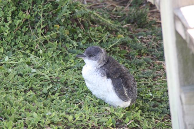 Baby fairy penguin Phillip Island