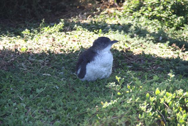Little Penguin Phillip Island