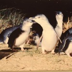 Fairy Penguins Phillip Island Australia