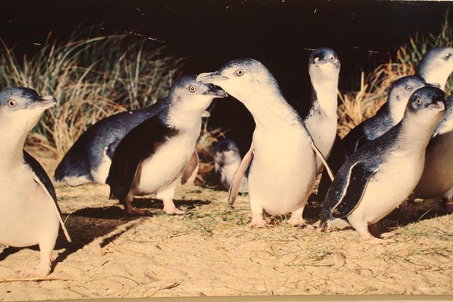 Fairy Penguins Phillip Island Victoria