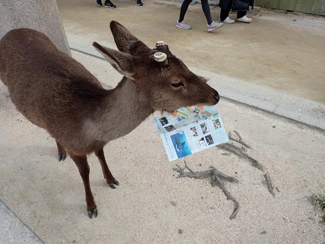 Wild Deer at Miyajima Island