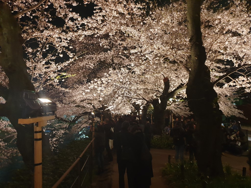 Cherry Blossoms in Tokyo at night