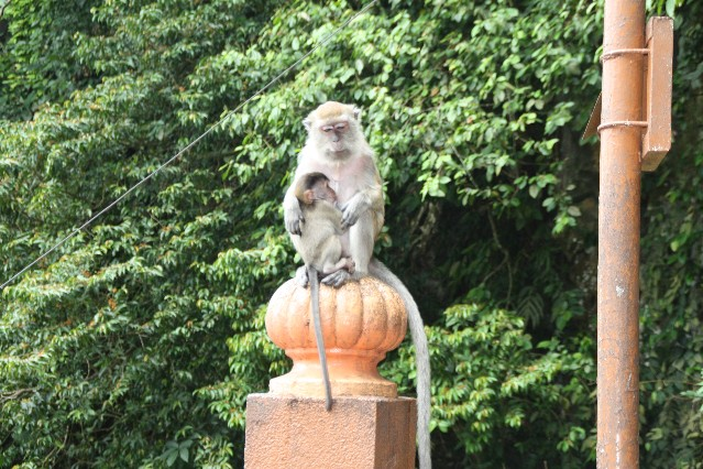 Monkeys at Batu Caves