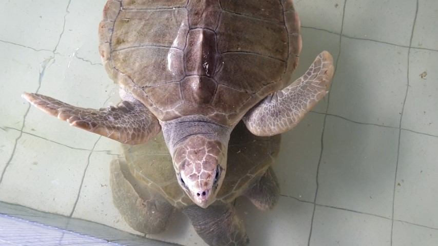 Olive Ridley Turtle at Sindhu Dwarawati Turtle Conservation Centre