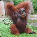 Orangutan in North Sumatra Indonesia