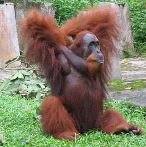 Orangutan in North Sumatra Indonesia