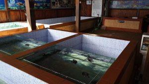 Turtle Conservation at Sanur Bali